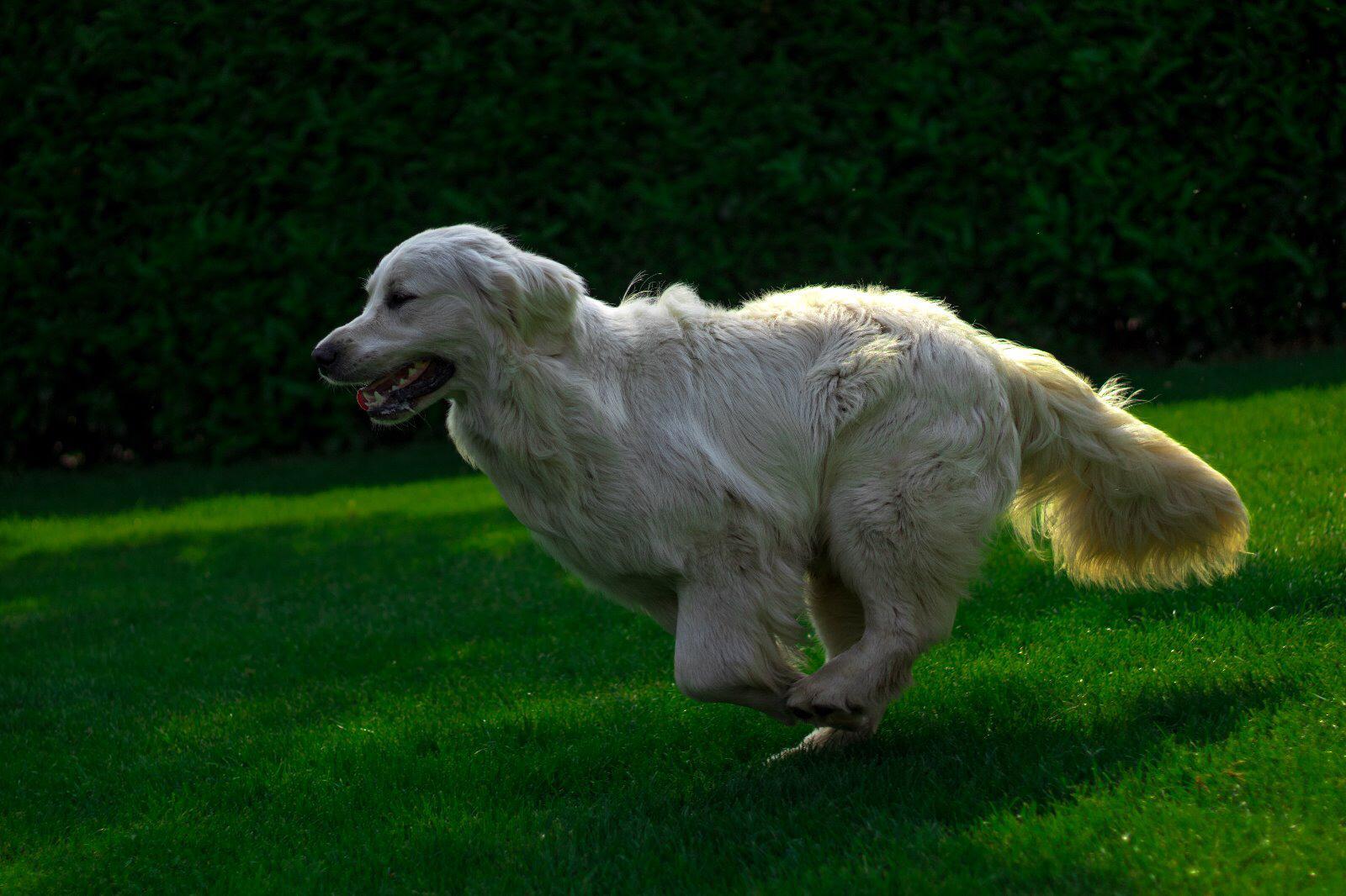 Joop - golden retriever