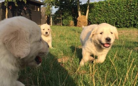 Golden Retriever pups Sjonouhof 02