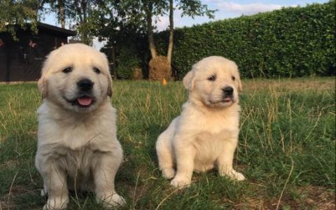 Golden Retriever pups Sjonouhof 10