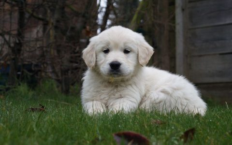 Golden Retriever pups Sjonouhof 14